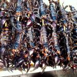 Big Scorpions